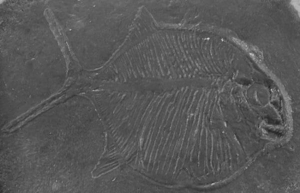 Fossilized-prehistoric-fish-accent-concrete-stamp